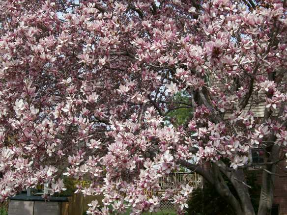 my beloved Magnolia tree